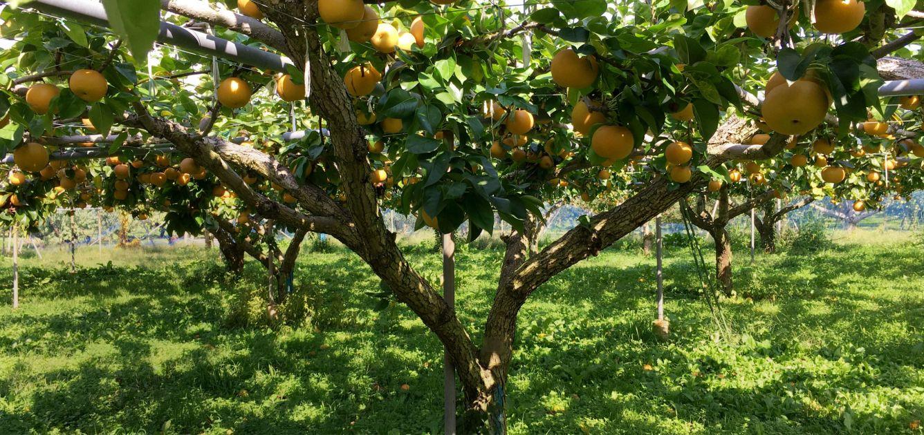 長野県小布施町・産地直送の梨通販ショップ|Su-eat Farm Pear(スイートファーム・梨専門店)
