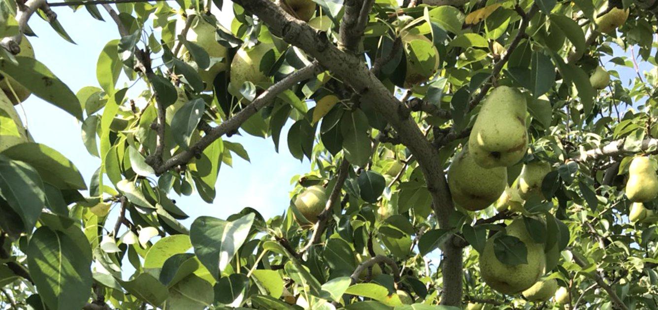 長野県小布施町・鮮度に自信!産地直送の梨通販ショップ|Su-eat Farm Pear(スイートファーム・梨通販ショップ)