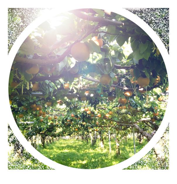 長野県小布施町・鮮度に自信!産地直送の梨通販ショップ|Su-eat Farm Pear(スイートファーム・梨通販ショップ)|スイートファームのこだわり・陽あたり