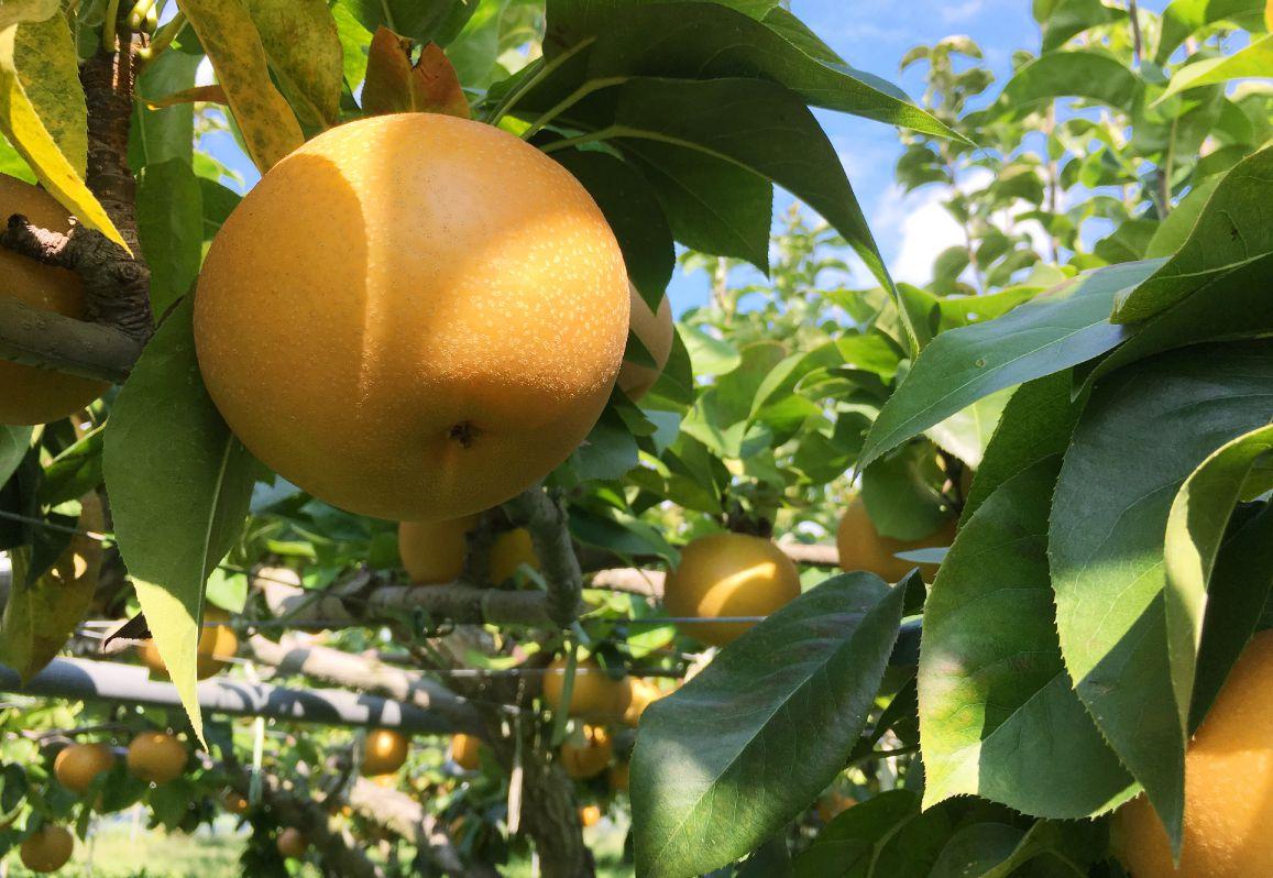 長野県小布施町・鮮度に自信!産地直送の梨通販ショップ|Su-eat Farm Pear(スイートファーム・梨通販ショップ)|スイートファームの梨へのこだわり・太陽の光をたっぷりと浴びることで、最大級の美味しさを出すために、袋をかけずに栽培をしています。