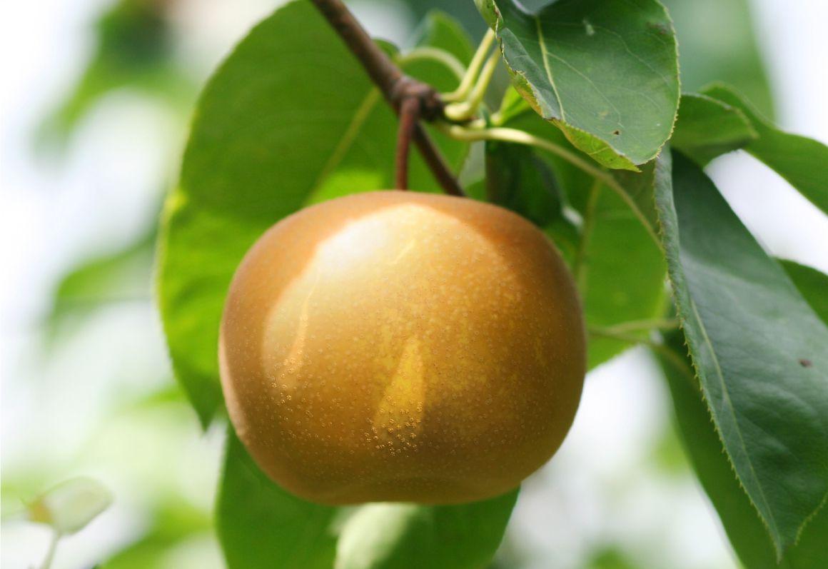 長野県小布施町・鮮度に自信!産地直送の梨通販ショップ|Su-eat Farm Pear(スイートファーム・梨通販ショップ)|スイートファームのこだわり・葉を取って栽培された果物は、糖度が低くなってしまいます。できるだけ甘い実を育てるために、スイートファームでは葉を取らずに育てています。
