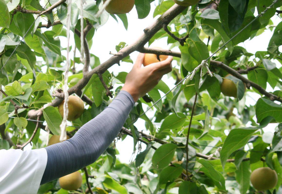 長野県小布施町・鮮度に自信!産地直送の梨通販ショップ|Su-eat Farm Pear(スイートファーム・梨通販ショップ)|スイートファームのこだわり・安心・安全をお届けしたい!そんな想いからできるだけ農薬を減らした栽培をとっています。