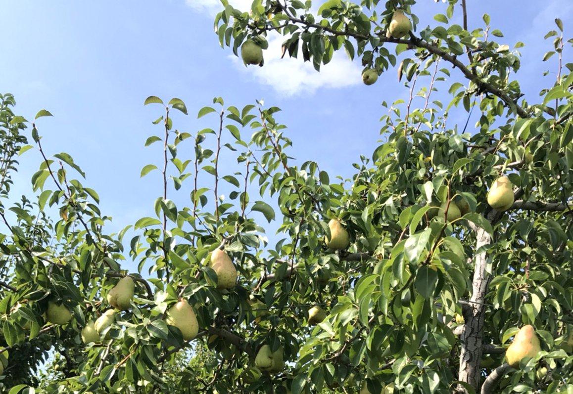 長野県小布施町・鮮度に自信!産地直送の梨通販ショップ|Su-eat Farm Pear(スイートファーム・梨通販ショップ)|スイートファームのこだわり・一番おいしい時にお手元に届けたいから。スイートファームでは樹上完熟主義です。
